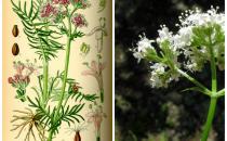 Valeriana: utilizzi, benefici e controindicazioni