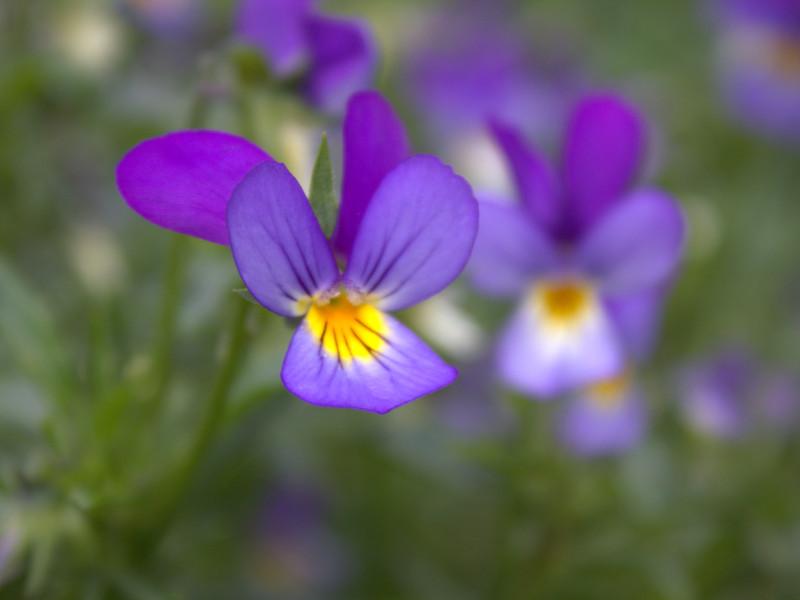 Come coltivare le violette