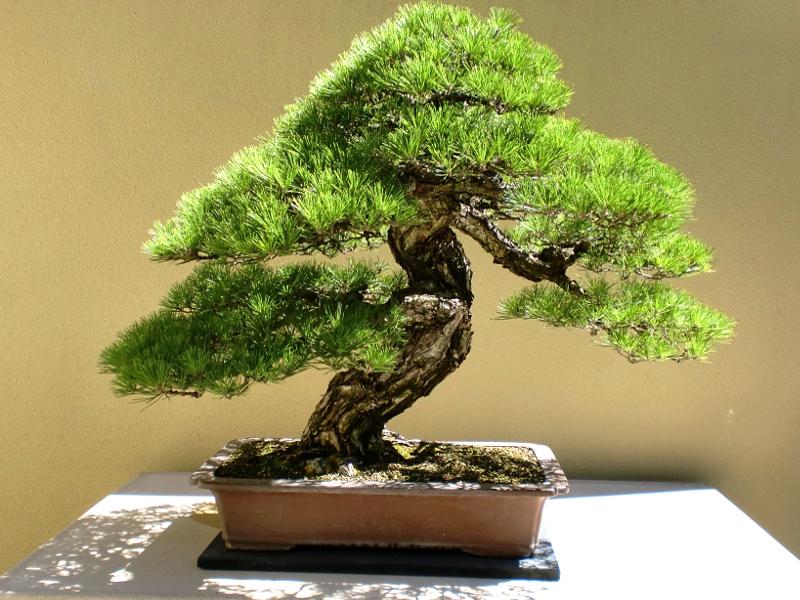 Come curare un bonsai: una guida utile
