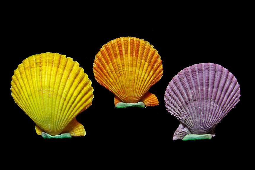 Conchiglie-colorate