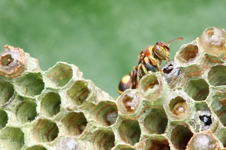 eliminare nido vespe