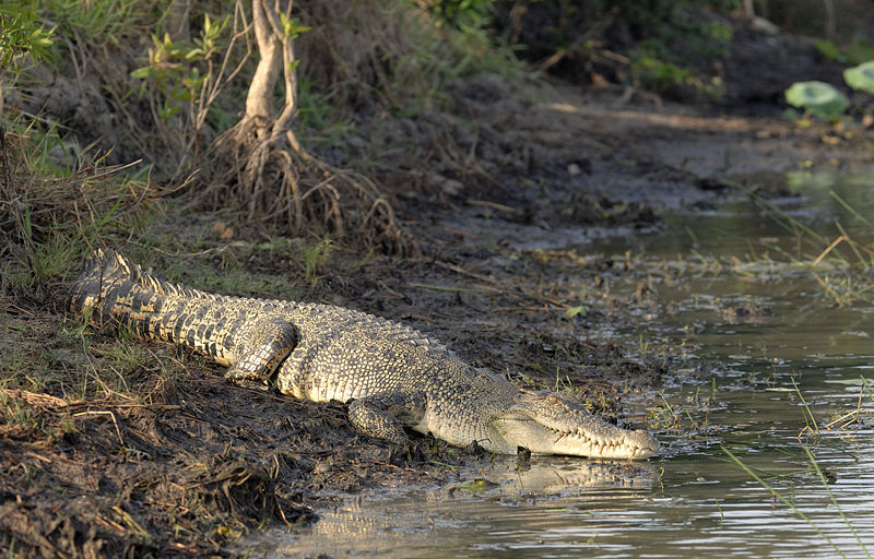 Ramree Island_Saltwater crocodile on Ramree Island_4116