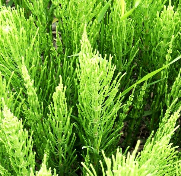 Equisetum_arvense fitoterapiablog