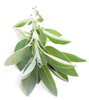 Salvia on white background