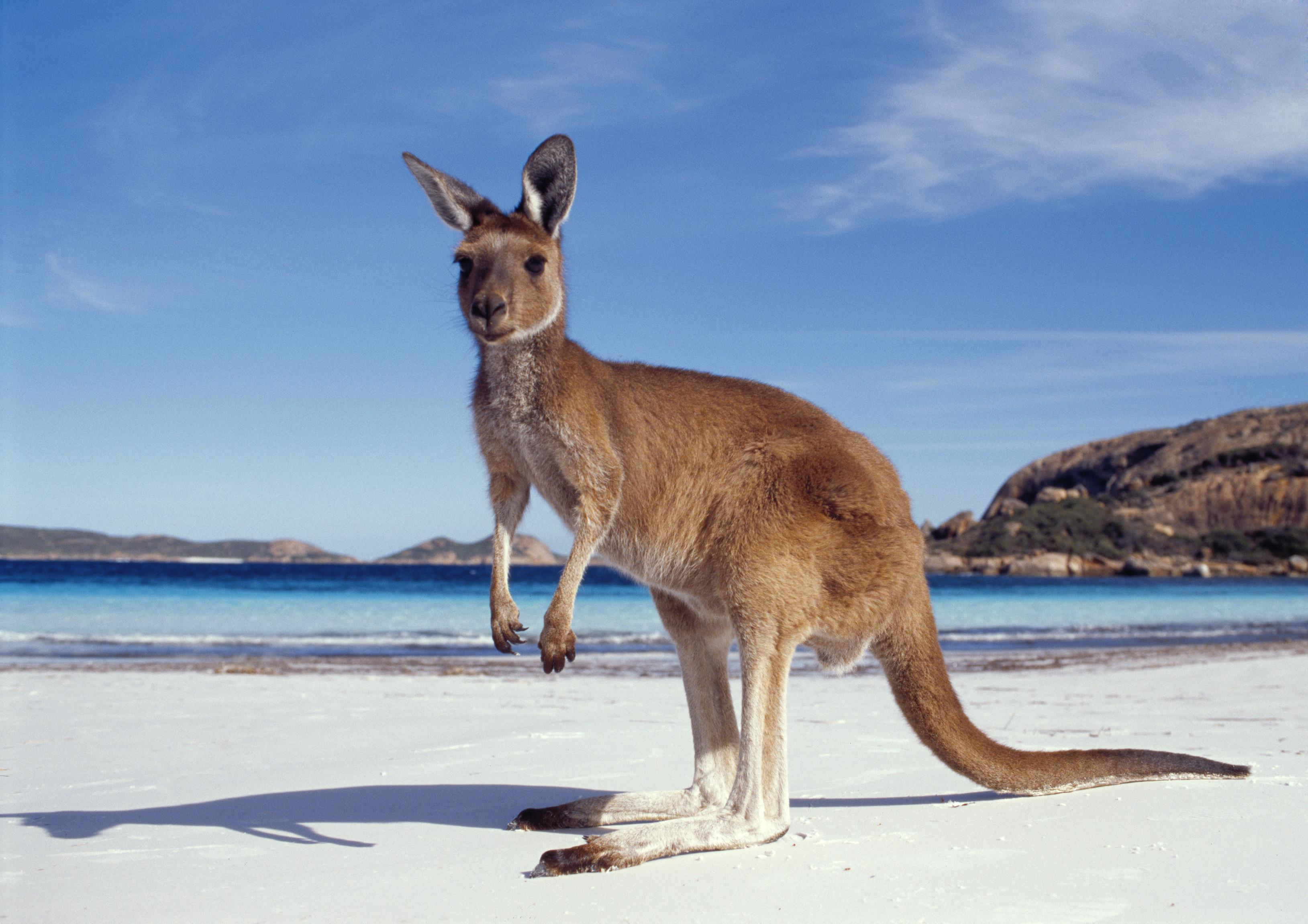 Australia canguro