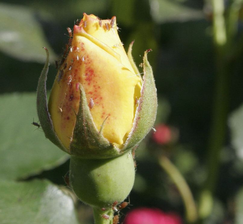 Afide delle rose