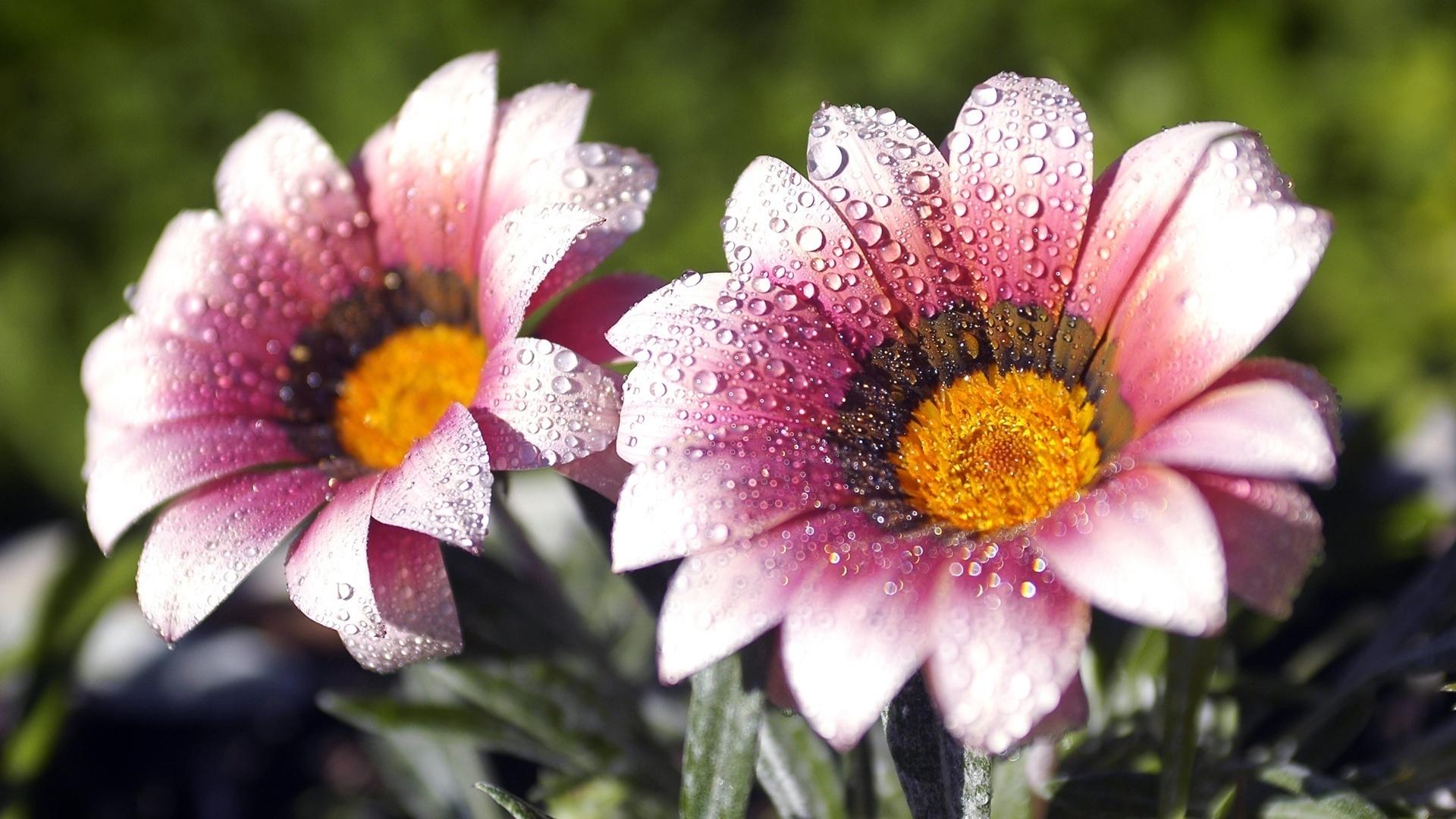 Blooming_Flowers_HDTV_Wallpapers_laba.ws