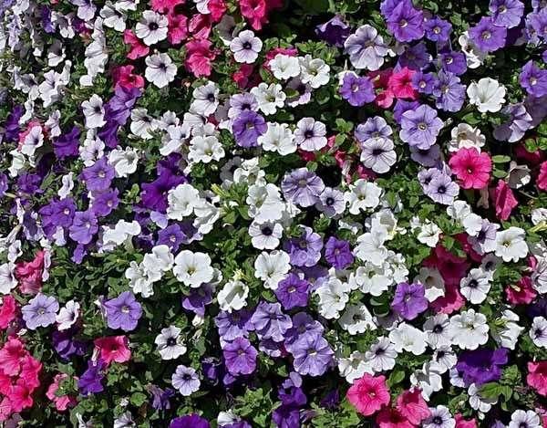 Piante da balcone in pieno sole l 39 elenco di tutti i tipi for Elenco piante sempreverdi