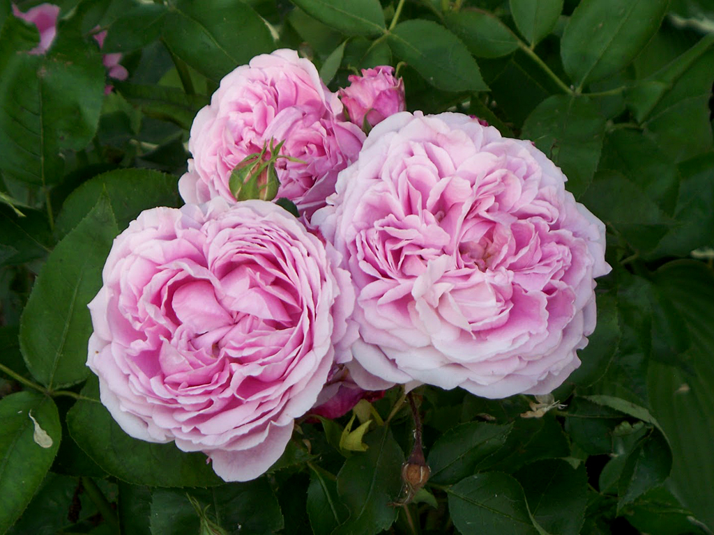 rose perenni