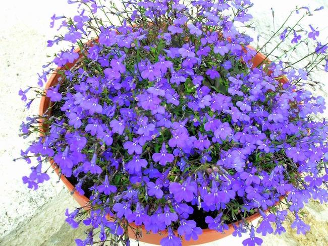 violette primavera