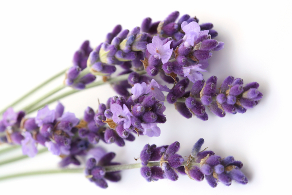bunch of lavender flower isolated on white close ups