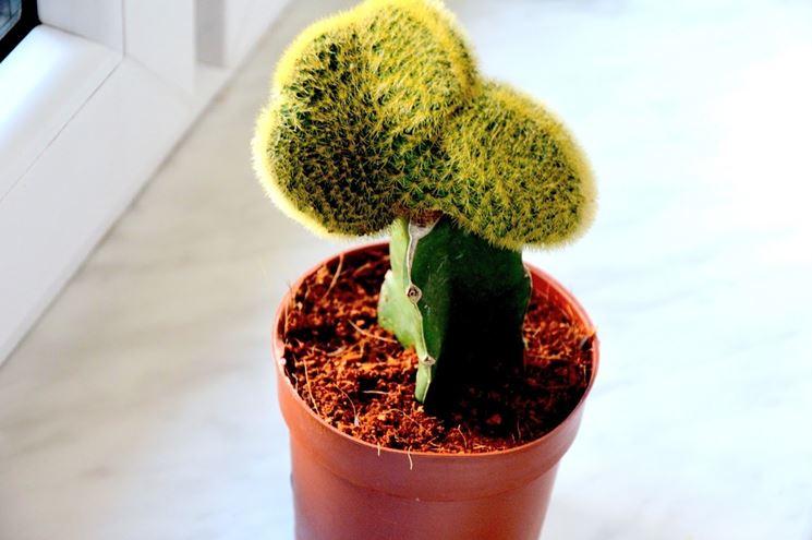 cura piante grasse vaso