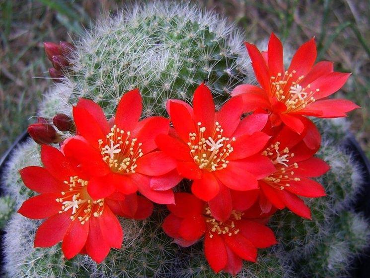 piante grasse fioritura