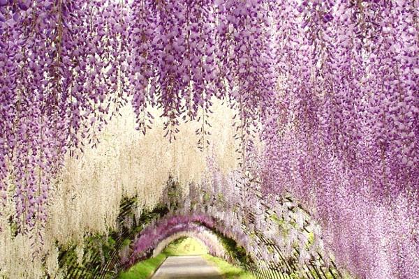 Wisteria Flower Tunnel