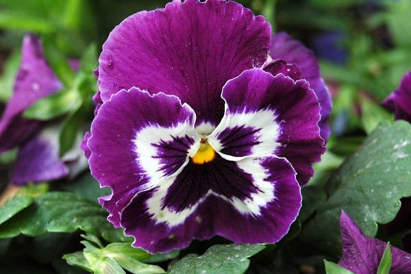 Viola Hortensis
