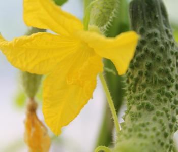 Cetrioli fiori