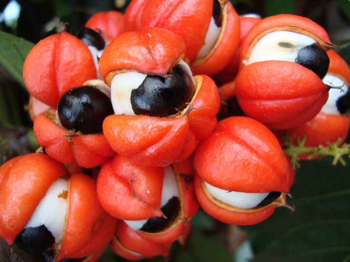 Guaranà per dimagrire: benefici e consigli per integralo nella dieta