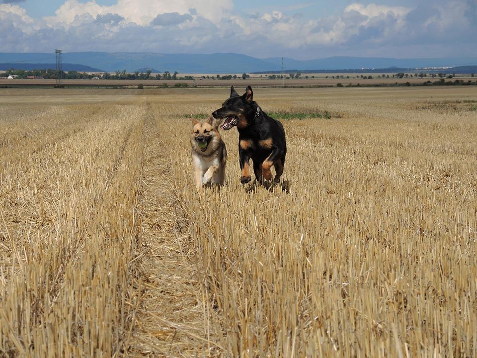 Quale razza di cane grande preferisci? [TEST]