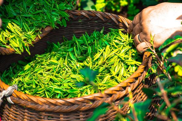 Tè raccolto