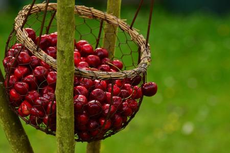 Raccolto ciliegie