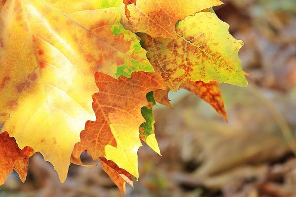 Foliage giallo