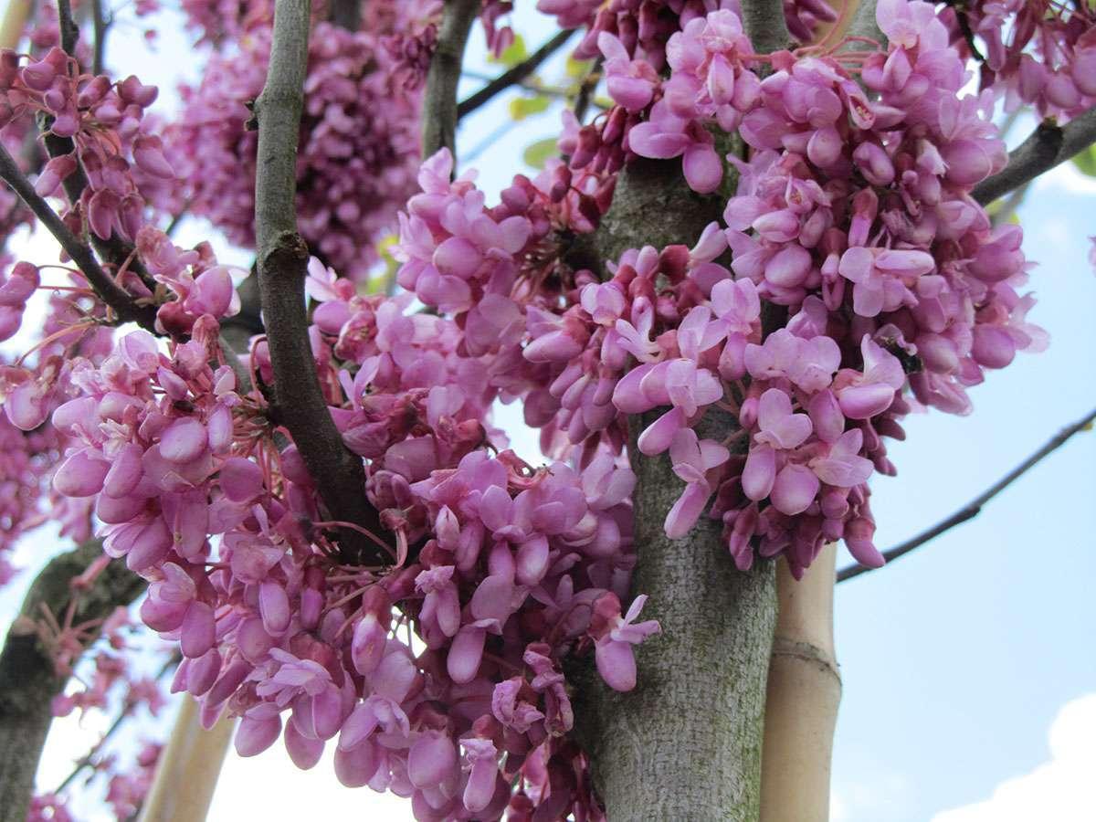 alberi da fiore resistenti al freddo i tipi pi belli