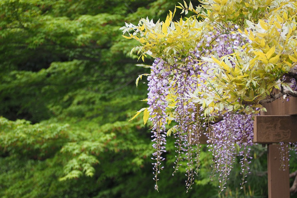 Glicine giardino