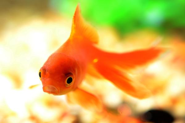 Pesce rosso bocca