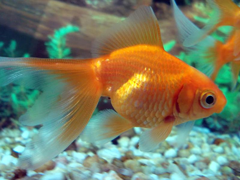 L 39 alimentazione dei pesci rossi cosa possono mangiare for Pesci da laghetto mangia zanzare