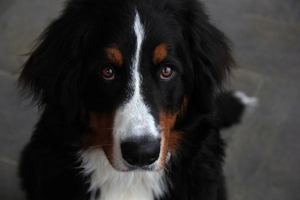 Le Razze Di Cani Più Affettuosi La Classifica Pourfemme