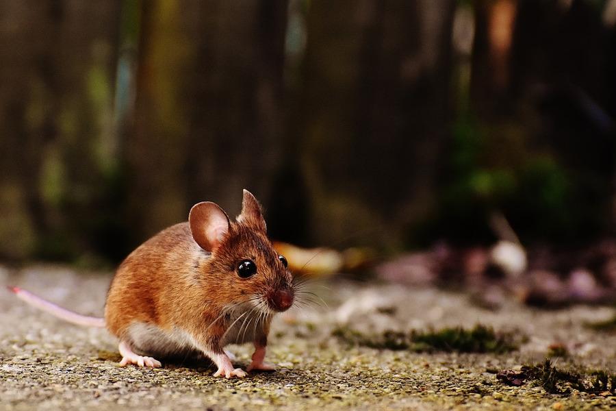 Come allontanare i topi con metodi naturali: i repellenti fai da te ...