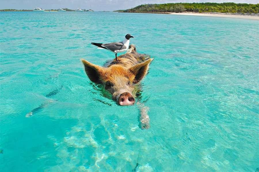 Pig Beach: la spiaggia delle Bahamas dove nuotano i maiali