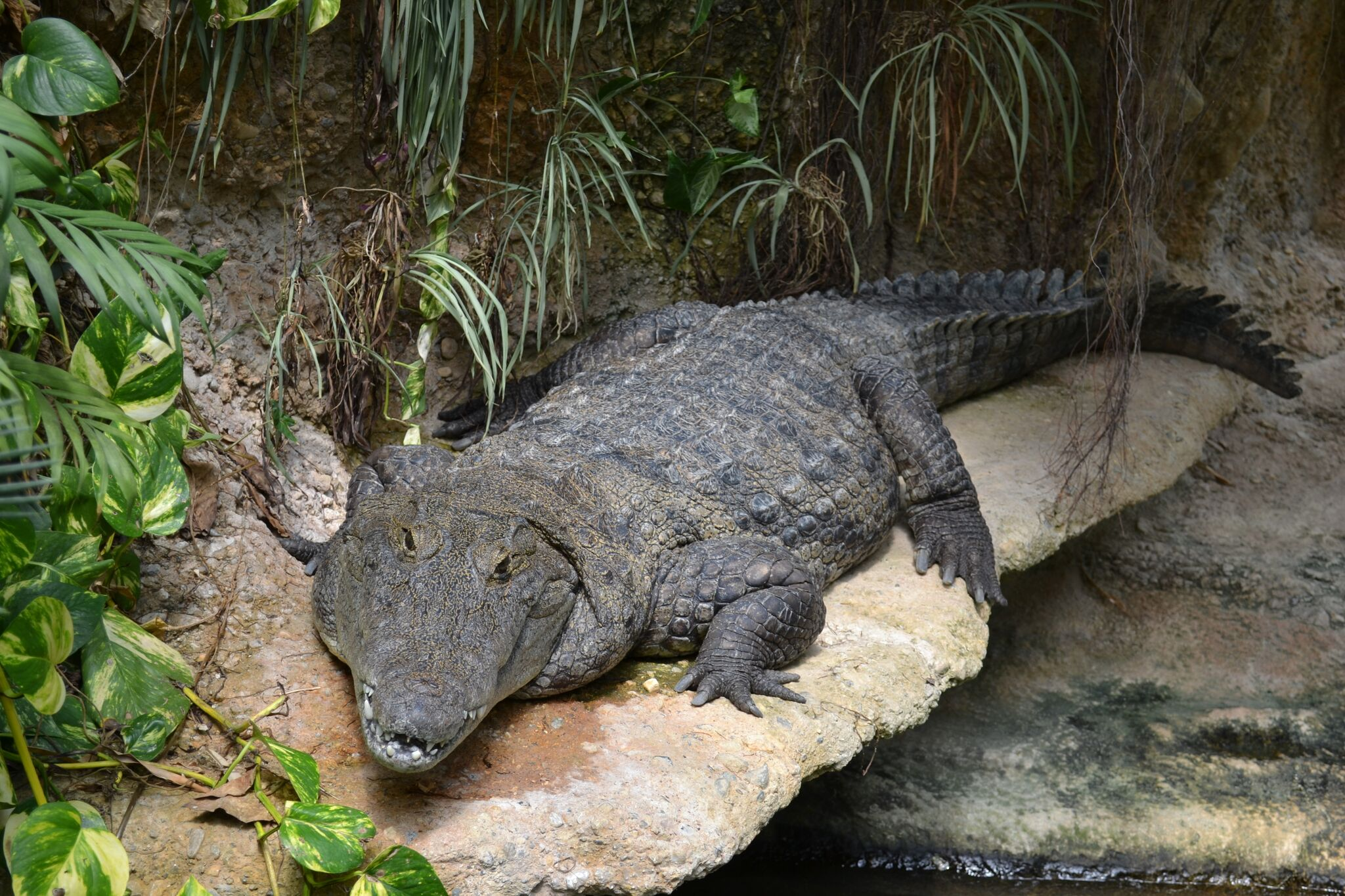 AQUATIS_Crocodylus suchus©M Ansermet