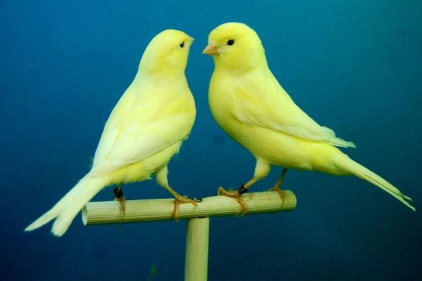 Canarini coppia