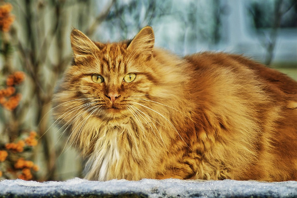 gatto pelo lungo