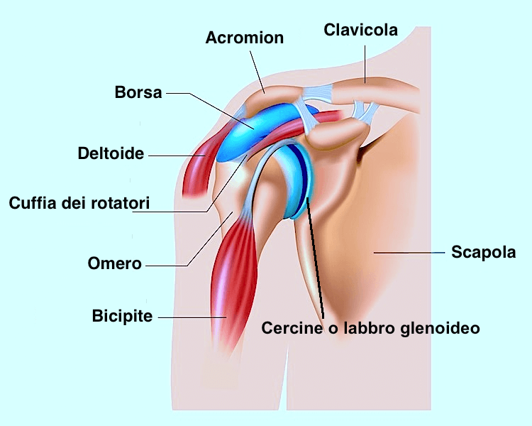 struttura della spalla