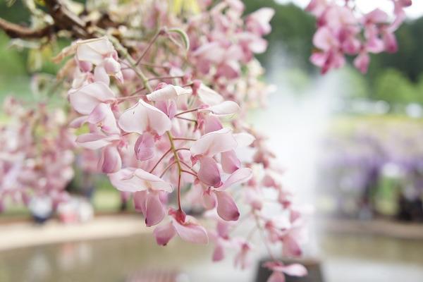 Glicine fioritura