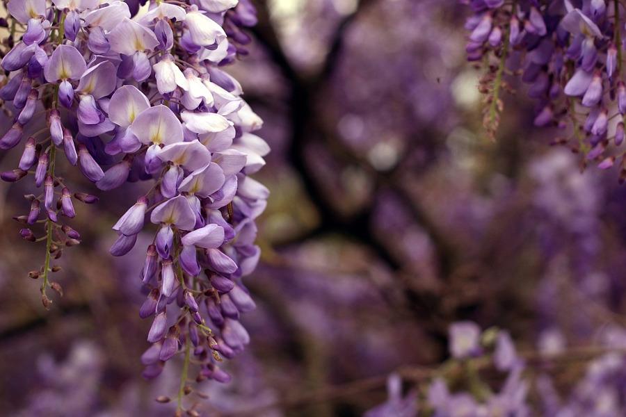 Glicine, come coltivarlo in casa o in vaso