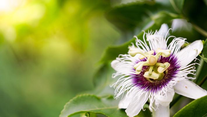 Tisana alla passiflora