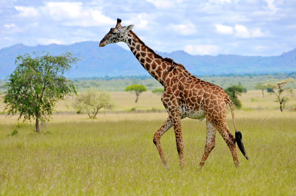 cacciatrice uccide giraffa