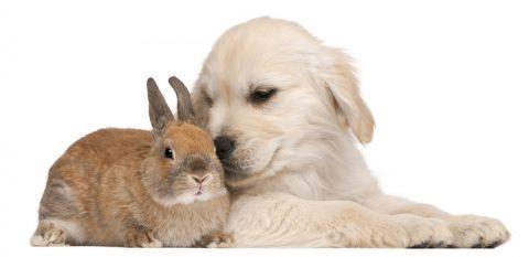 Cane coniglio