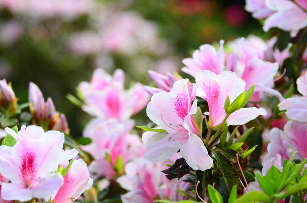 Piante primavera azalea