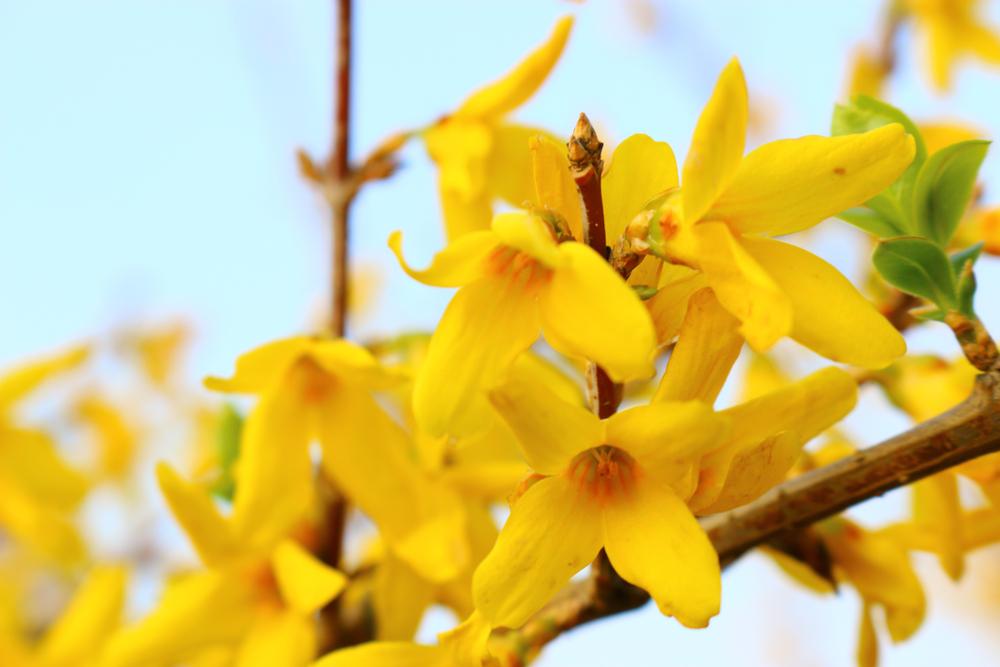 Piante primavera forsizia