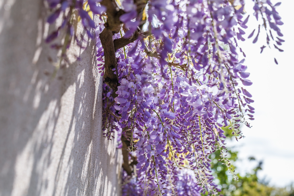 Piante primavera glicine