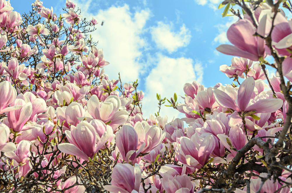 Piante primavera magnolia