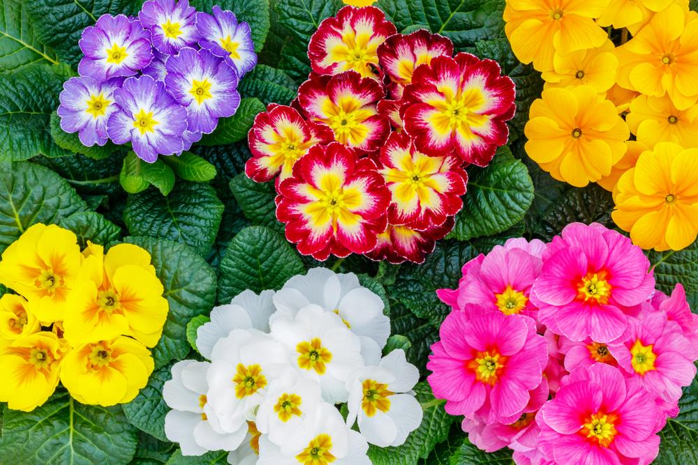 Piante primavera primula