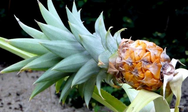ananas (piña de brasil)