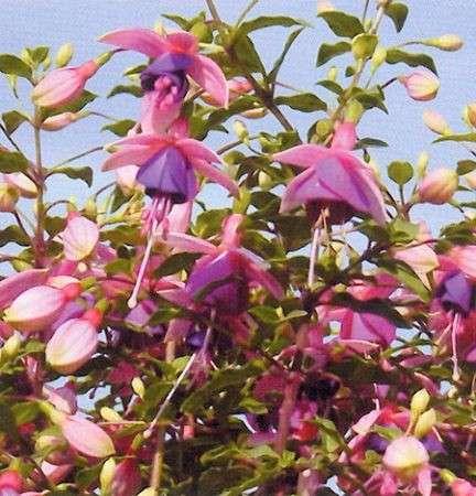fiori fucsia