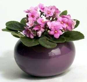 violetta africana