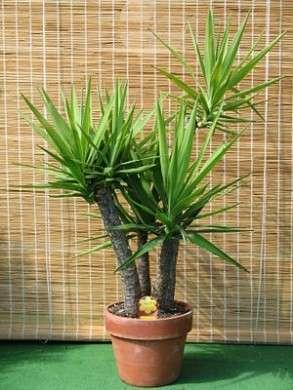 Yucca o tronchetto della felicità